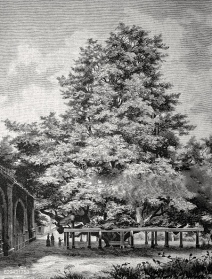 Giant lime tree at the cemetery in Annaberg, historical illustration, circa 1886