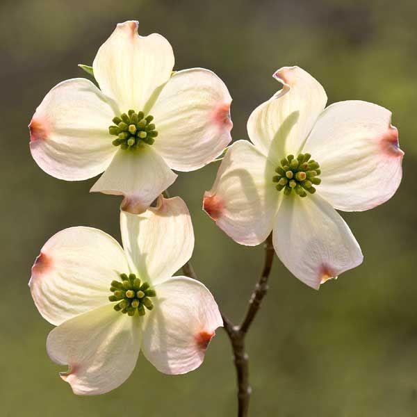 fiore del corniolo