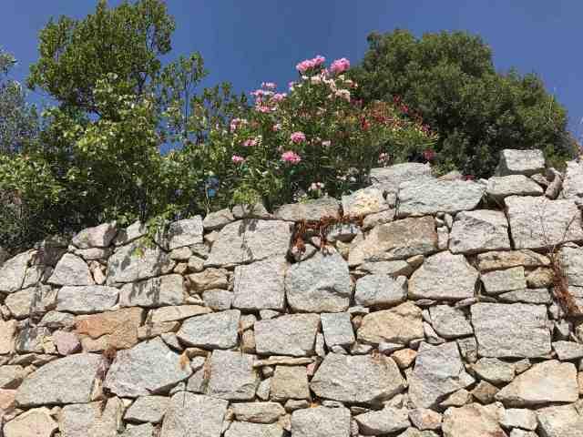 muro da fuori oleandri con leccio e ulivo