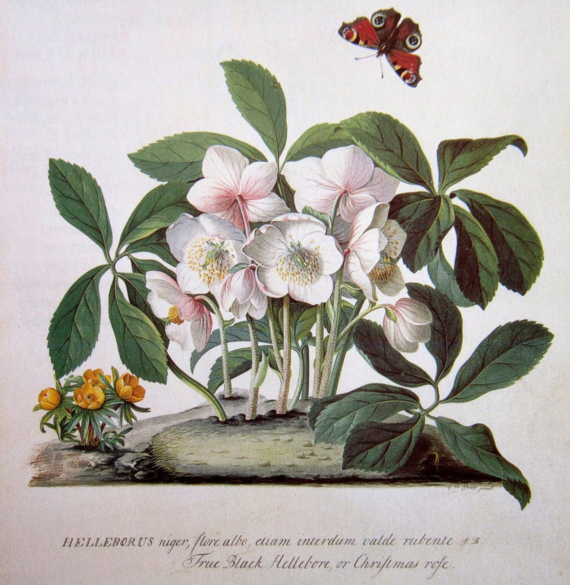 Quante Varietà Di Rose Esistono storie di natale. la leggenda della rosa di natale – mammaoca
