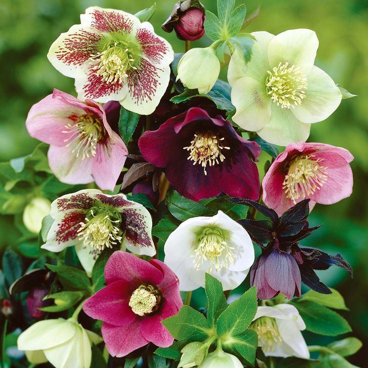 rosa di nataleelleboro