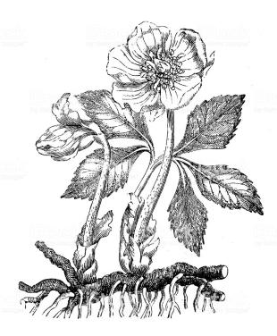 Antique illustration of Helleborus niger (Christmas rose, black hellebore)