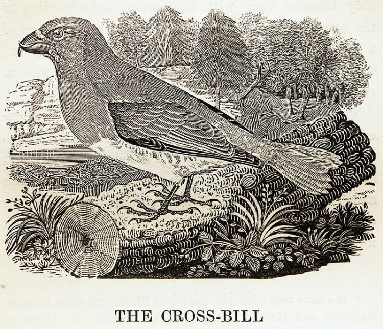 800px-Crossbill_woodcut_by_Thomas_Bewick.jpg