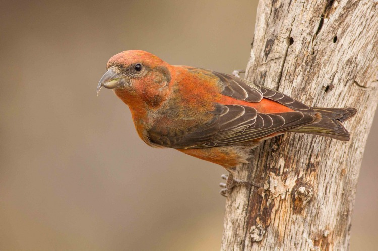 red-crossbill_0