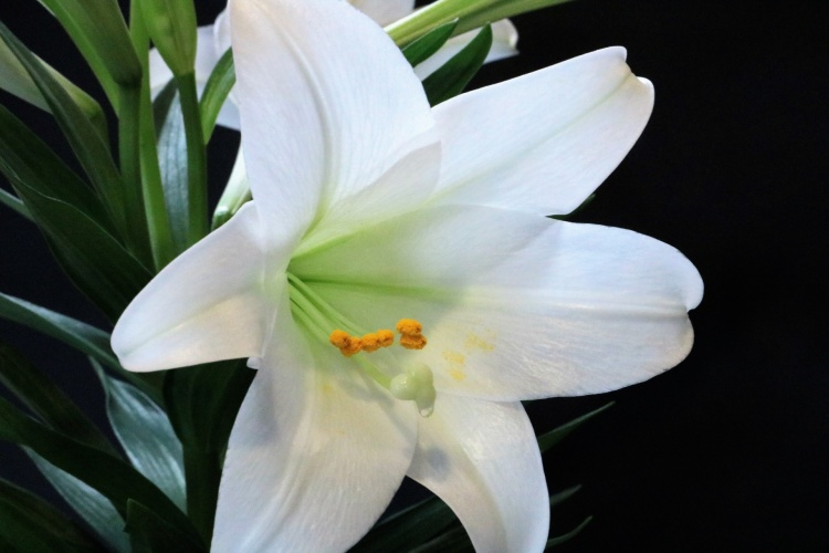 easter-lily-close-up